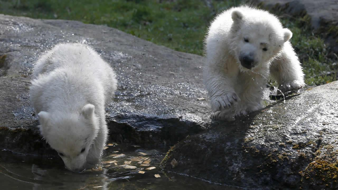 Twin polar bear cubs Nela and Nobby play in their enclosure at the Hellabrunn zoo in Munich, southern Germany, Monday, April 7, 2014. The cubs were born on Dec. 9, 2013. Today they received their names