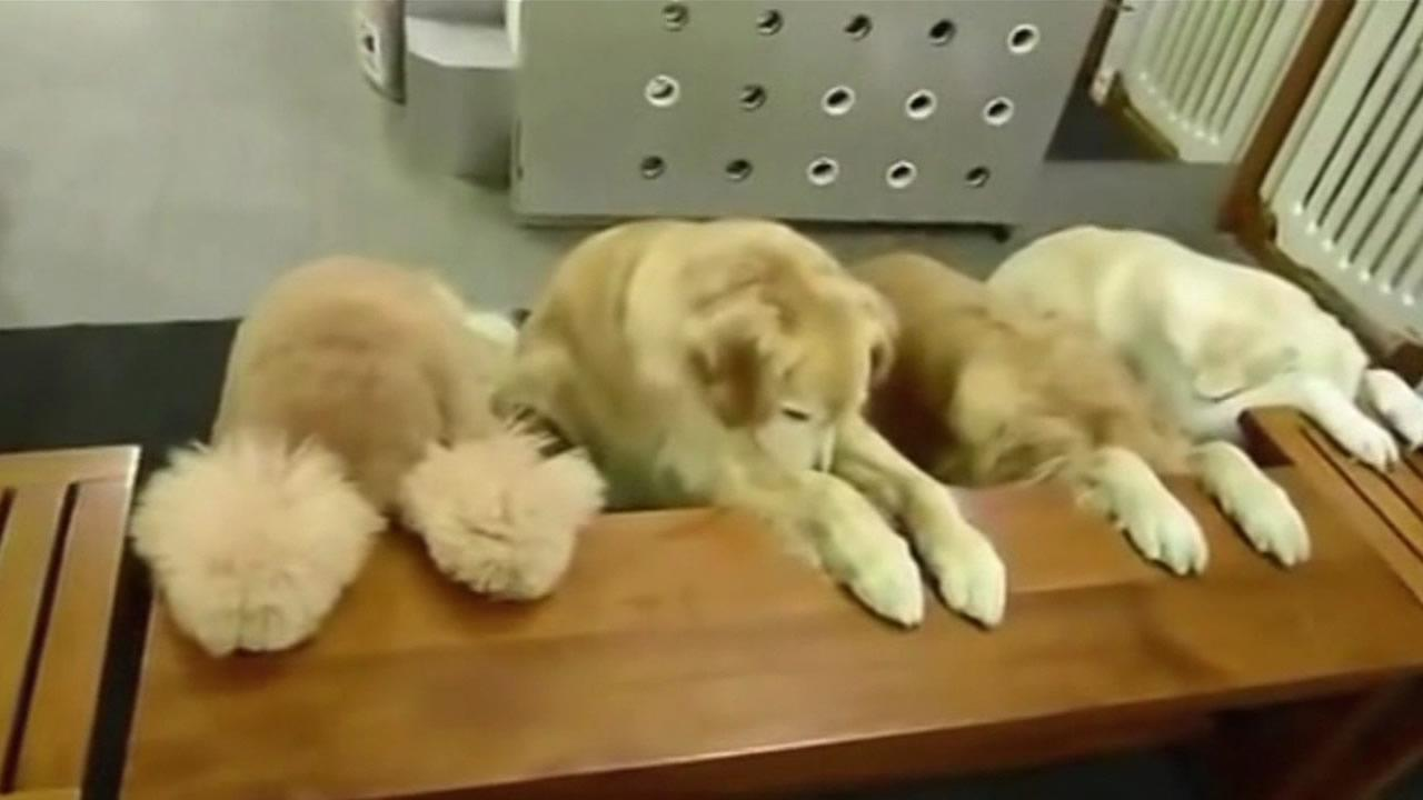 Dogs praying in China before dinner