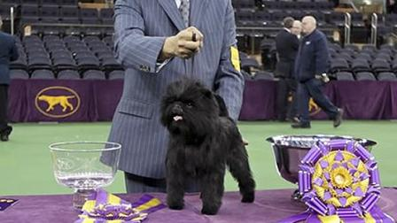 Banana Joe wins 2013 Westminster dog show