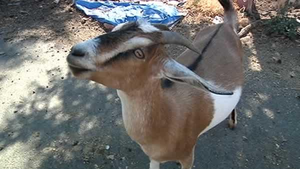 Residents fight to get 'goat ghetto' out of neighborhood