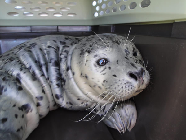 Seal rescued at Byxbee Park in the Palo Alto Baylands <span class=meta>(KGO)</span>