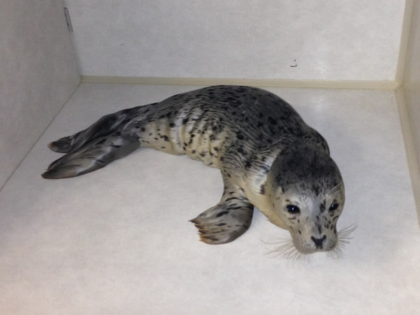 "<div class=""meta ""><span class=""caption-text "">Seal rescued at Byxbee Park in the Palo Alto Baylands (KGO)</span></div>"