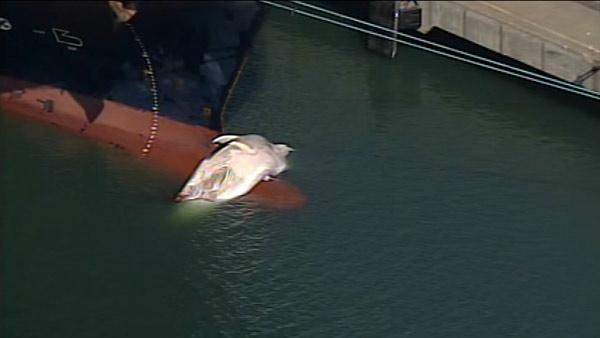 Whale struck by cargo ship in SF Bay