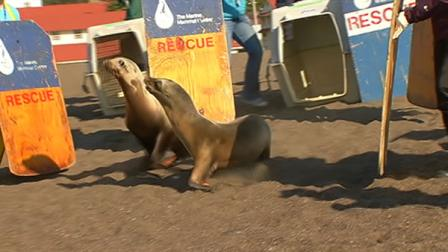 Staff members and volunteers at the Marine Mammal Center helped return three California sea lions to the Pacific.