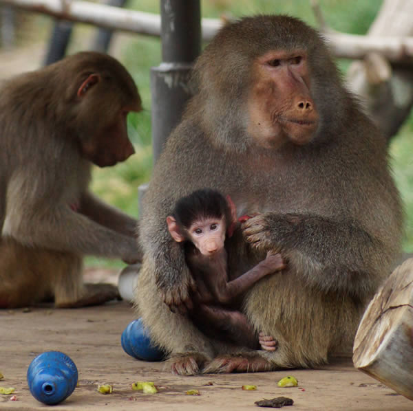 Kodee sitting with her Mom, Krista. &#34;Kodee&#34;, a baby Hamadryas baboon, was born on October 24th, 2013 at the Oakland Zoo.  Kodee can now be seen by the public, clinging to her mother&#39;s belly and being carried around. <span class=meta>(Colleen Renshaw)</span>