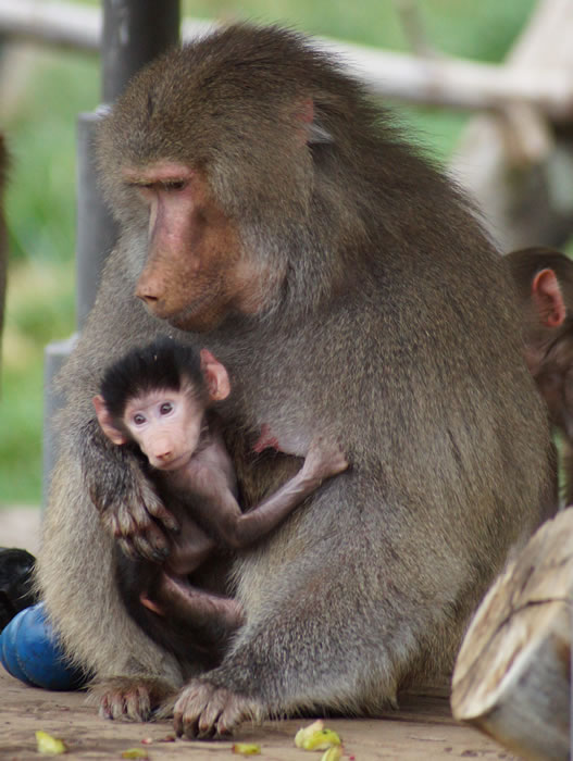 Kodee with her Mom. &#34;Kodee&#34;, a baby Hamadryas baboon, was born on October 24th, 2013 at the Oakland Zoo.  Kodee can now be seen by the public, clinging to her mother&#39;s belly and being carried around. <span class=meta>(Colleen Renshaw)</span>