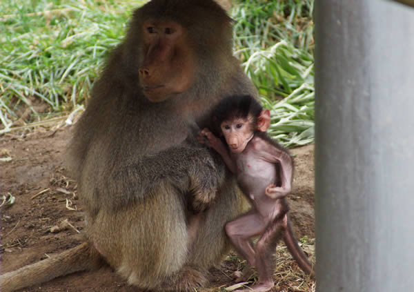 &#34;Kodee&#34;, a baby Hamadryas baboon, was born on October 24th, 2013 at the Oakland Zoo.  Kodee can now be seen by the public, clinging to her mother&#39;s belly and being carried around. <span class=meta>(Colleen Renshaw)</span>