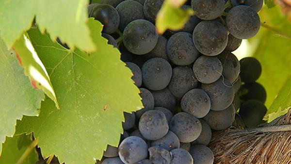 Climate may change the quality of Napa Valley wines
