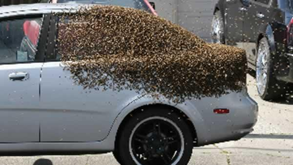 Huge bee swarms buzzing around Clayton, Concord