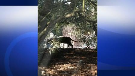Mountain lion sighting reported in San Ramon