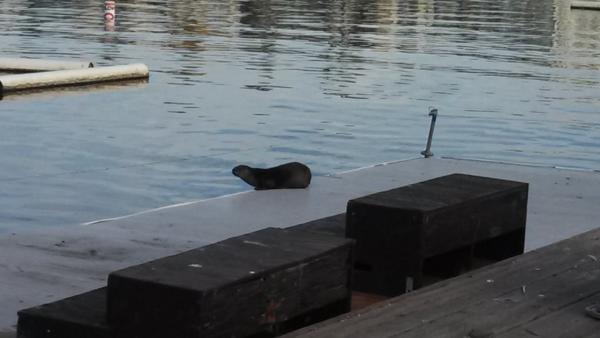 A river otter has been spotted at Oakland's Lake Merritt. (Photo courtesy Greg Lewis)