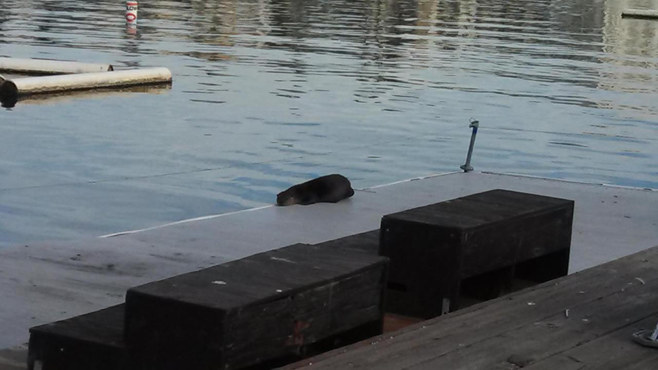 A river otter has been spotted at Oaklands Lake Merritt. (Photo courtesy Greg Lewis)