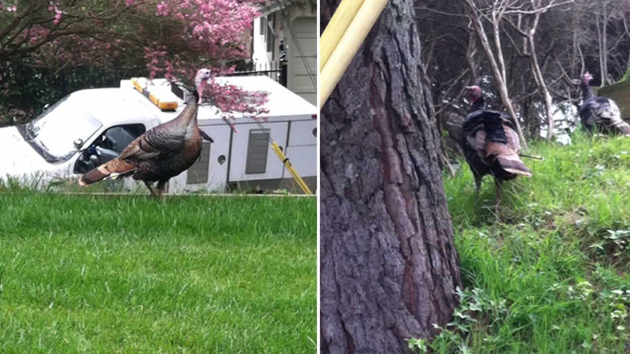 Oakland Animal Services is asking for the publics help to capture a wild turkey that was shot with an arrow.