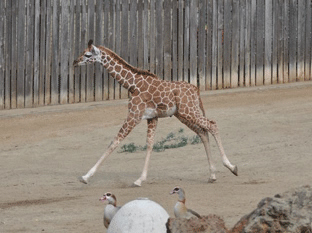 Maggie takes her first run on exhibit, Monday, January 30, 2012.  A baby reticulated giraffe was born January 12, 2012 at approximately 6:30am behind-the-scenes at the Oakland Zoo. Weighing in at eighty pounds and seventy-two inches, the healthy baby girl named &#34;Maggie&#34; was born to Twiga &#40;Mom&#41; and Mabusu &#40;Dad&#41;. This is the first female giraffe born at the Zoo in nearly a decade. On Thursday, February 2, 2012 Maggie makes her grand debut to the public. <span class=meta>(Nancy Filippi)</span>