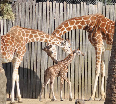 A baby reticulated giraffe was born January 12, 2012 at approximately 6:30am behind-the-scenes at the Oakland Zoo. Weighing in at eighty pounds and seventy-two inches, the healthy baby girl named &#34;Maggie&#34; was born to Twiga &#40;Mom&#41; and Mabusu &#40;Dad&#41;. This is the first female giraffe born at the Zoo in nearly a decade. On Thursday, February 2, 2012 Maggie makes her grand debut to the public. <span class=meta>(Nancy Filippi)</span>