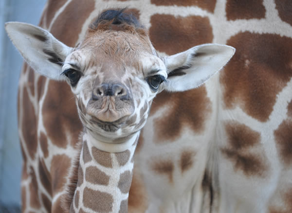 Baby giraffe born at Oakland Zoo
