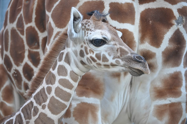 "<div class=""meta image-caption""><div class=""origin-logo origin-image ""><span></span></div><span class=""caption-text"">Maggie standing next to Mom, Twiga.  A baby reticulated giraffe was born January 12, 2012 at approximately 6:30am behind-the-scenes at the Oakland Zoo. Weighing in at eighty pounds and seventy-two inches, the healthy baby girl named ""Maggie"" was born to Twiga (Mom) and Mabusu (Dad). This is the first female giraffe born at the Zoo in nearly a decade. On Thursday, February 2, 2012 Maggie makes her grand debut to the public. (Nancy Filippi)</span></div>"