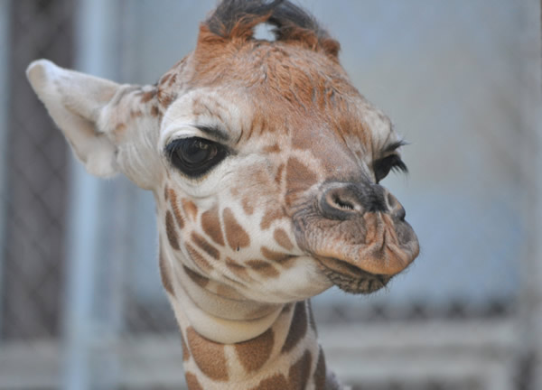 Maggie, one week after her birth.  A baby reticulated giraffe was born January 12, 2012 at approximately 6:30am behind-the-scenes at the Oakland Zoo. Weighing in at eighty pounds and seventy-two inches, the healthy baby girl named &#34;Maggie&#34; was born to Twiga &#40;Mom&#41; and Mabusu &#40;Dad&#41;. This is the first female giraffe born at the Oakland Zoo in nearly a decade. On Thursday, February 2, 2012 Maggie makes her grand debut to the public. <span class=meta>(Nancy Filippi)</span>
