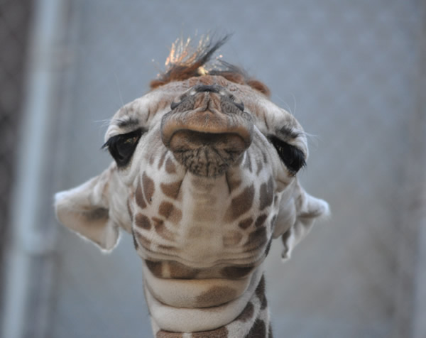 "<div class=""meta ""><span class=""caption-text "">Maggie's face upclose just days after her birth.  A baby reticulated giraffe was born January 12, 2012 at approximately 6:30am behind-the-scenes at the Oakland Zoo. Weighing in at eighty pounds and seventy-two inches, the healthy baby girl named ""Maggie"" was born to Twiga (Mom) and Mabusu (Dad). This is the first female giraffe born at the Zoo in nearly a decade. On Thursday, February 2, 2012 Maggie makes her grand debut to the public. (Nancy Filippi)</span></div>"