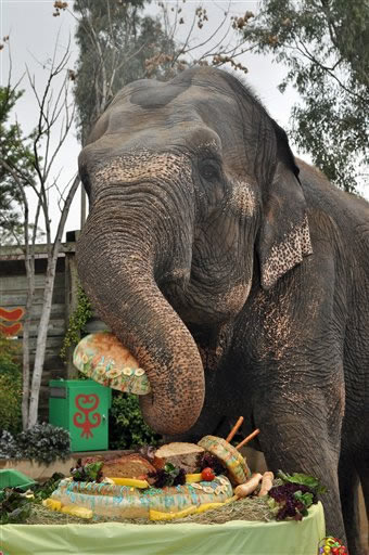 In this photo provided by Six Flags Discovery Kingdom, Taj, a female Asian elephant, enjoys a multi-tiered bread and fruit-based birthday cake during a party in her honor of her birthday at Six Flags Discovery Kingdom in Vallejo, Calif., Wednesday, March 3, 2010. Taj, 70, is the oldest Asian elephant in North America. Now semi-retired, she enjoys walks around the park, swimming in her pool and basking in the sun. <span class=meta>(AP Photo&#47;Six Flags Discovery Kingdom, Nancy Chan)</span>