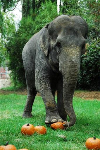 "<div class=""meta ""><span class=""caption-text "">Taj, a 67-year-old female Asian elephant, smashes pumpkins at Six Flags Discovery Kingdom in Vallejo, Calif., on Friday, Sept. 28, 2007. The park's seven elephants were treated to their own personal pumpkin patch to mark the first day of Fright Fest, a month-long Halloween celebration. The pachyderms squished and squashed the pumpkins to create bite-sized morsels. (AP Photo/Six Flags Discovery Kingdom, Dale Arnold)</span></div>"