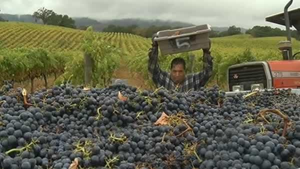 Rain causes concern among wine growers