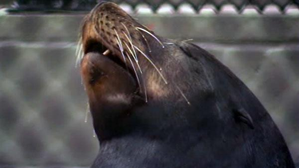 Marine Mammal Center to release rescued sea lions