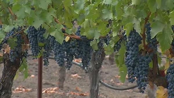 Napa Valley wineries: Great growing season
