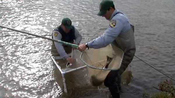 Salmon released as first step to restore San Joaquin