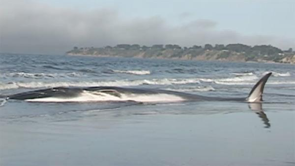 Beached whale at Stinson Beach
