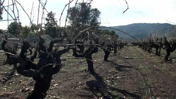 Lack of rain raising concerns for winegrowers