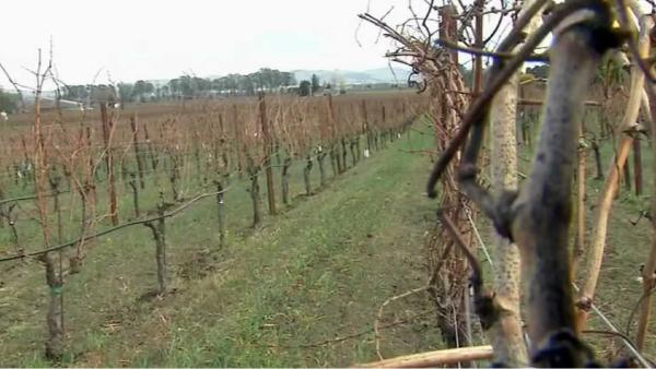 Drought threatening Bay Area wine industry