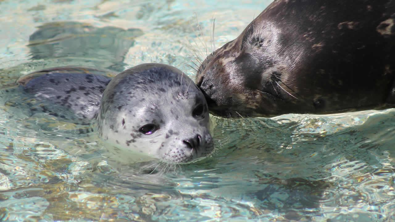Six Flags Discovery Kingdom welcomed the first Pacific Harbor seal pup born at the park in eight years.