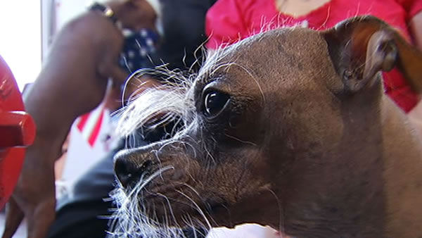 Here are the contestants for the 2012 World&#39;s Ugliest Dog contest at the Sonoma Marin County Fair in Petaluma, CA.  <span class=meta>(KGO Photo&#47; KGO)</span>