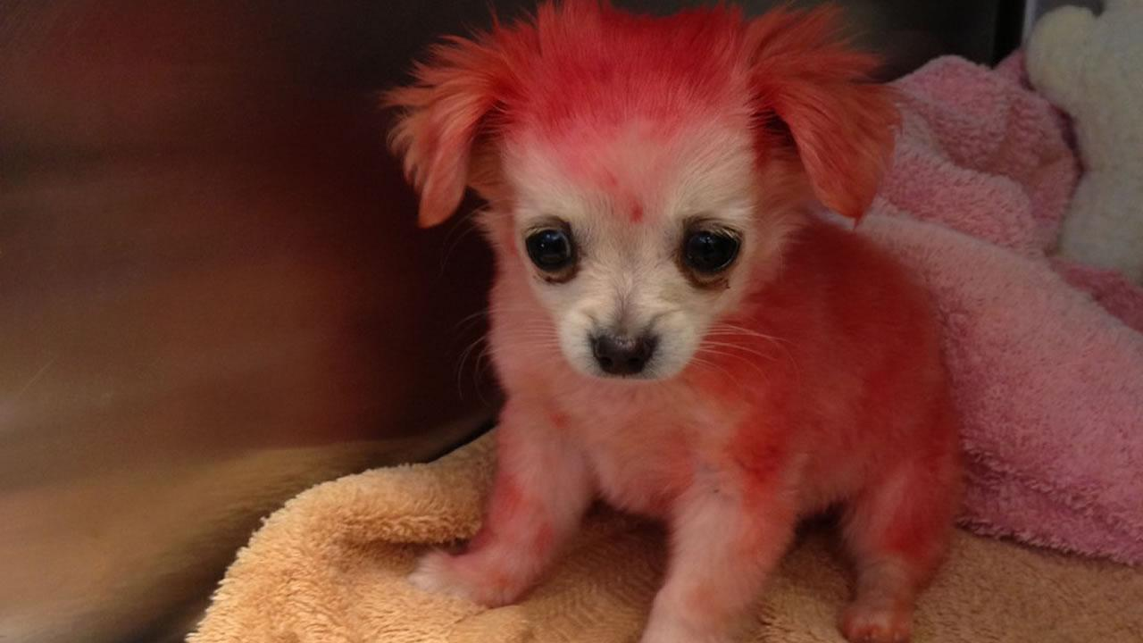 Humane Society staff are searching for the  owner of a Chihuahua puppy with dyed pink fur that was found in East Palo  Alto last week.