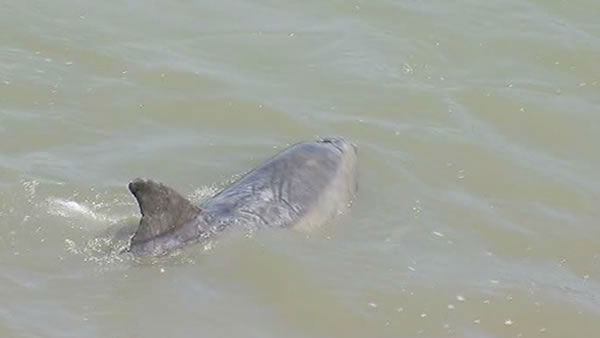 A bottle nose dolphin is currently swimming in circles in South San Francisco&#39;s Colma Creek. A Marine Mammal Center expert is being sent in to see if it needs help. <span class=meta>(KGO Photo)</span>