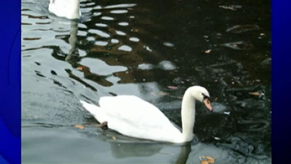 Reward offered for information on swan's killer