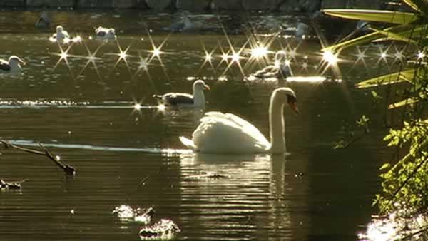 Last swan moved from Palace of Fine Arts
