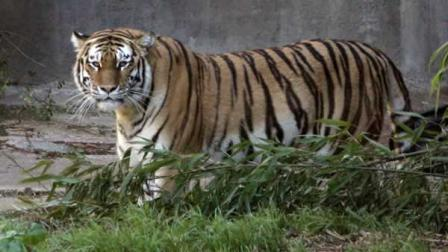 Tatiana, a female Siberian tiger that killed one person and injured two others, is seen at the San Francisco Zoo in this Dec. 28, 2006, file photo.