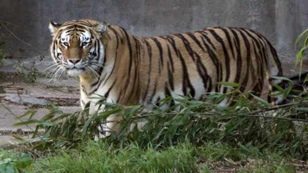 Feds release SF Zoo tiger attack documents