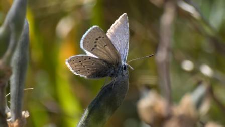 Female Mission blue butterfly perched on a silver lupine seed pod, waiting for a mate.  She was transferred from San Bruno Mtn. in 2009 and laid her eggs in the restored habitat Twin Peaks.