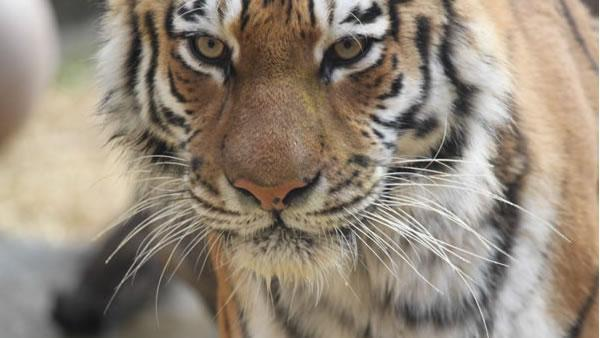 SF Zoo to get 10-year-old Siberian tiger