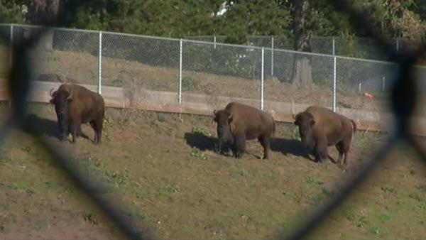 Young bison dies after dogs enter paddock