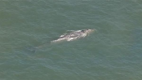 Lone gray whale extends stay in SF Bay