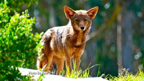 Coyotes force dogs off some Golden Gate Park trails