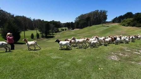 A large group of goats are munching their way through four acres of dense  brush at the Presidio Golf Course in San Francisco.
