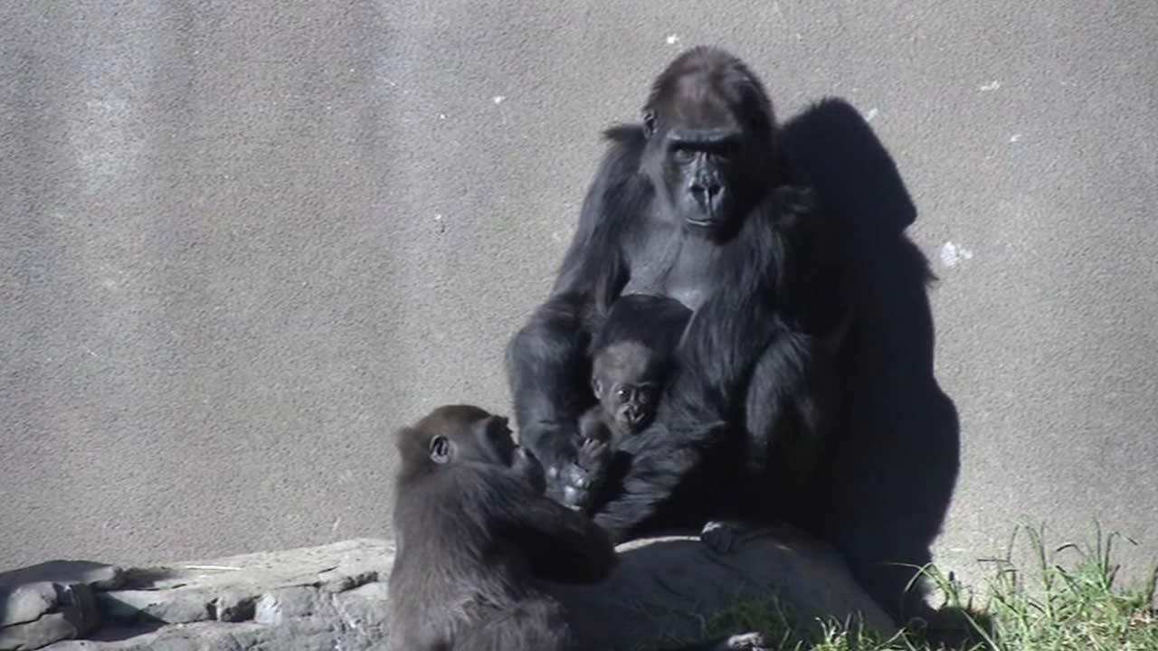 ABC7 News got exclusive access to the San Francisco Zoos newest member -- a baby gorilla that turned 5-months-old this week.