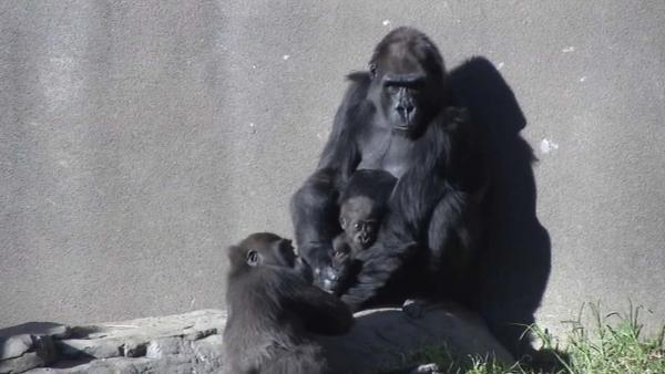 ABC7 News got exclusive access to the San Francisco Zoo's newest member -- a baby gorilla that turned 5-months-old this week.