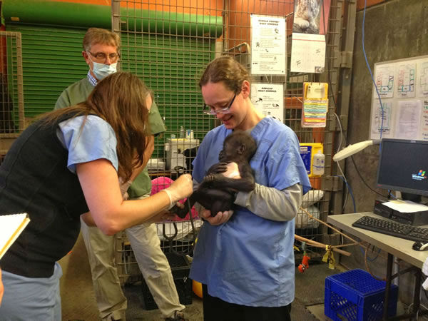 "<div class=""meta ""><span class=""caption-text "">The 10-week-old baby gorilla at the San Francisco Zoo got a check-up from UCSF neonatologists. Photo by Juliana Bunim/UCSF Benioff Children?s Hospital</span></div>"