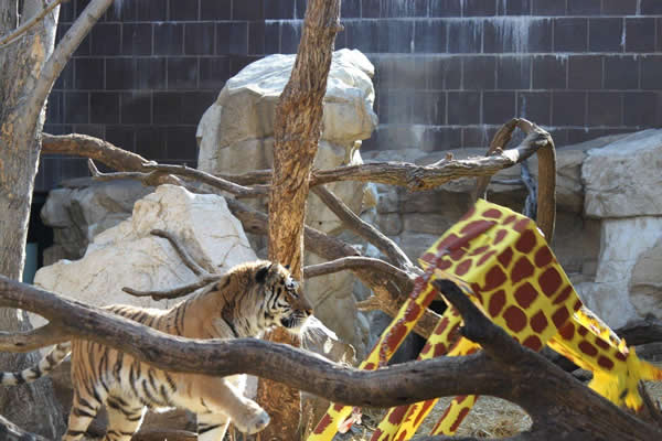 SF Zoo adopts tiger from Nebraska: 10-year-old Siberian Tiger, Martha, is expected to arrive by truck in early June 2011 though she will undergo a health screening before being placed on exhibit. Tiger zoo walls have been raised 22 feet to prevent escape.